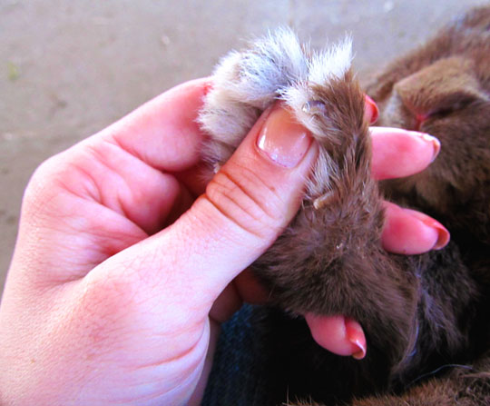 clipping rabbit nails